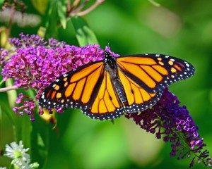 butterfly-300x240
