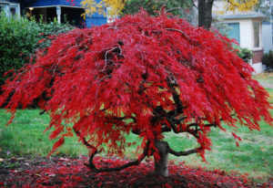 Falling In Love with Japanese Maples and Ginkgo @ Trinity Methodist Church | Aiken | South Carolina | United States